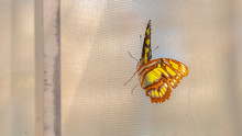Pano Beautiful Butterfly With Yellow Black And Brown Wings Against A Window Screen