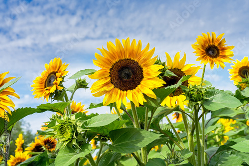 Vibrant sunflowers growing in a country garden. Fototapete
