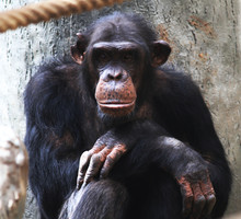 Resting Chimpanzee Portrait