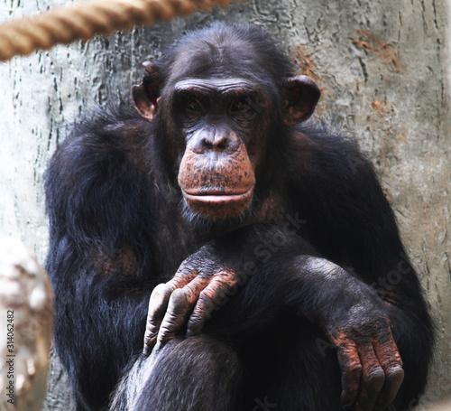 Fototapeta resting chimpanzee portrait