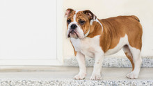 Red-haired English Bulldog Puppy With White Color Close-up Portrait On The Doorstep Of The House, Waiting For The Owner