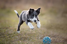 Happy Border Collie Puppy Play...