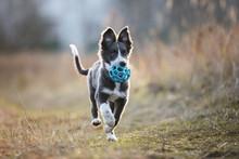 Happy Border Collie Puppy Runn...