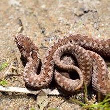 Common European Viper Snake (V...
