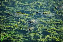 Swimming Turtles In The Lake W...