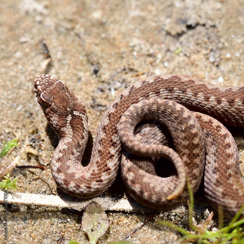 Fotografija Common European viper snake (Vipera berus) in its habitat