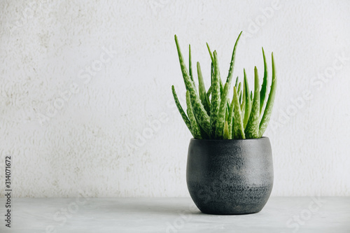 Obraz na plátně Aloe vera plant in design modern pot and white wall mock up