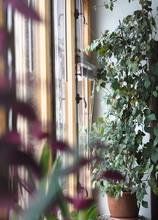 Indoor Plant Cissus, In Common...