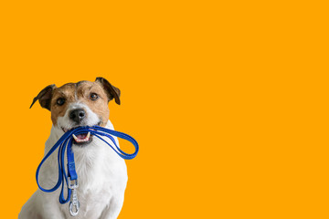 FototapetaDog sitting concept with happy active dog holding pet leash in mouth ready to go for walk