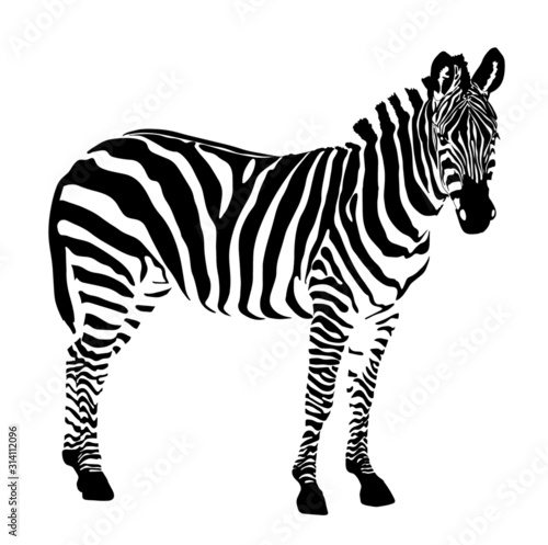 zebra isolated on the white background  - 314112096