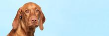 Cute Hungarian Vizsla Dog Stud...