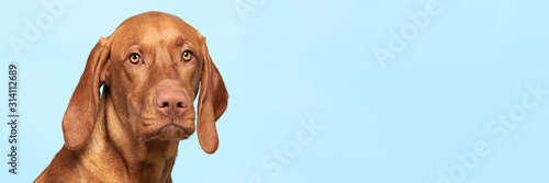 Fototapeta Cute hungarian vizsla dog studio portrait. Dog looking at the camera headshot over blue background banner. obraz