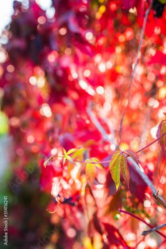 Parthenocissus tricuspidata (Virginia creeper) in the garden. Shallow depth of field. #314116241