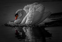 Swan Lake Black White Orange B...