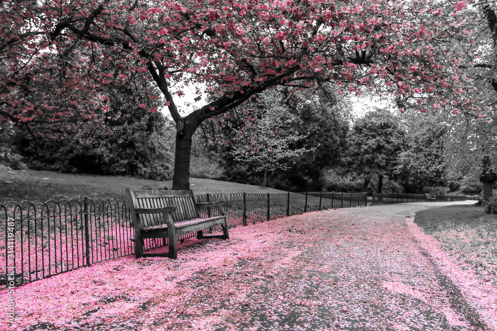 Fototapeta A picture from the park where the wooden bench stands under the cherry tree with pink blooms. The leaves are falling down on the bench and the road.