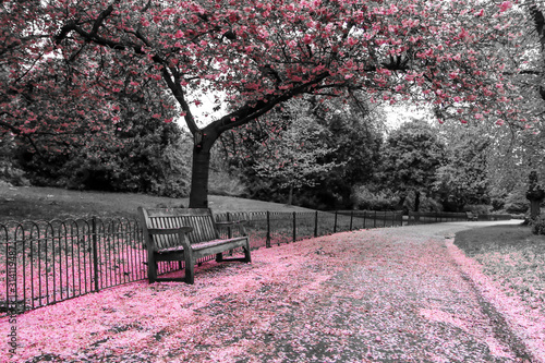 A picture from the park where the wooden bench stands under the cherry tree w...