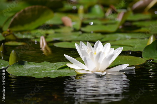 Fotografía Close up of one delicate white water lily flowers (Nymphaeaceae) in full bloom o