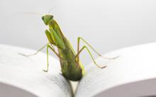 Portrait Of European Mantis Or...