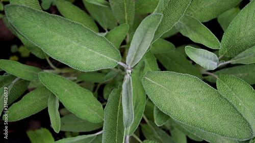 Salvia officinalis leaf Fototapeta