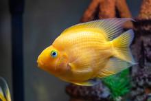 Red Parrot Cichlid Aquarium Fish At Freshwater Aquarium, Close-up