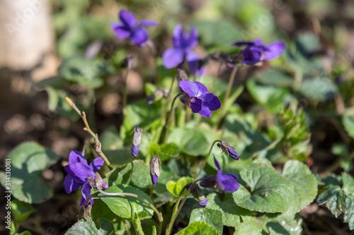 Small delicate flowers of Viola odorata plant, commonly known as wood, sweet, English or florist's violet in a garden in a sunny spring day, beautiful outdoor floral background