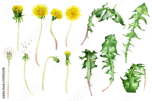 Beautiful bouquet of wild flowers of yellow dandelions with green leaves, watercolor painting, composition, isolated on white background. Poster, cover, wallpaper, design, packaging, website, art.