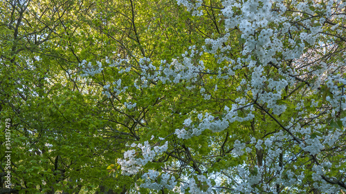 Blooming apple tree in early spring Canvas Print