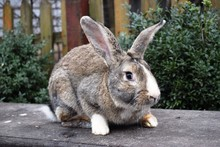 The Flemish Giant Rabbit Is A ...