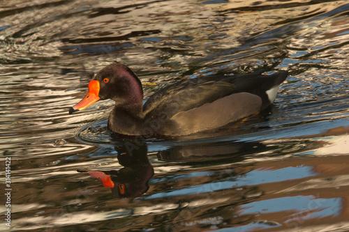 Photo The rosy-billed pochard, rosybill, rosybill pochard (Netta peposaca)