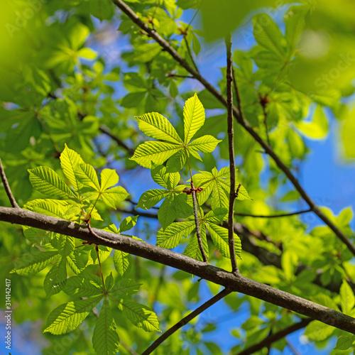 Junge Blätter der Rosskastanie, Aesculus, im Frühling Canvas Print