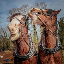 Horse Plough Team Pair