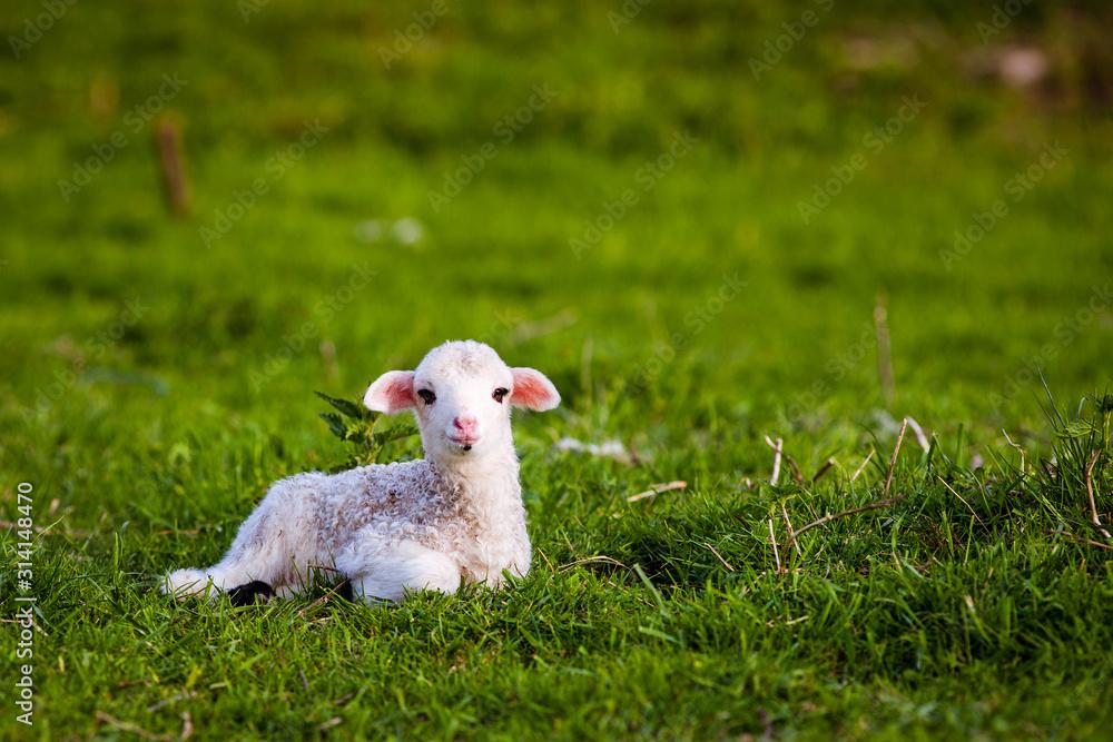 Obraz portrait of cute little lamb grazing in green spring meadow fototapeta, plakat
