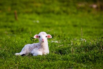 portrait of cute little lamb grazing in green spring meadow