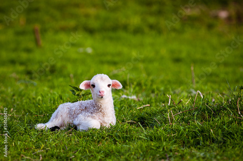 Fotografiet portrait of cute little lamb grazing in green spring meadow