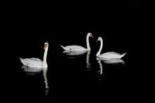 Swans Swimming On Lake At Nigh...