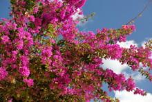 Bougainvillea In Bloom Against Blue Sky