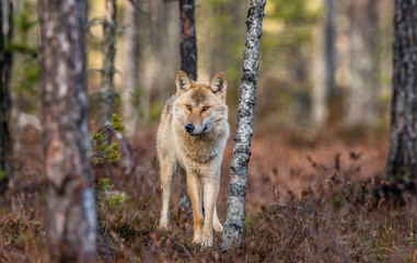 Eurasian wolf, also known as the gray or grey wolf also known as Timber wolf. Front view. Scientific name: Canis lupus lupus. Natural habitat. Autumn forest..