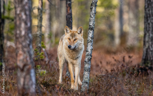 Fototapeta Eurasian wolf, also known as the gray or grey wolf also known as Timber wolf.  Front view. Scientific name: Canis lupus lupus. Natural habitat. Autumn forest.. obraz