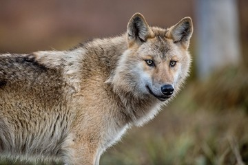 Сlose-up portrait of a wolf. Eurasian wolf, also known as the gray or grey wolf also known as Timber wolf. Scientific name: Canis lupus lupus. Natural habitat.