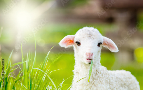portrait of cute little lamb grazing in green spring meadow Canvas Print