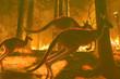 Leinwanddruck Bild - Composition of group of kangaroos fleeing a fire in an Australian forest.
