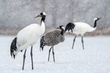 The Red-crowned Cranes And Eur...