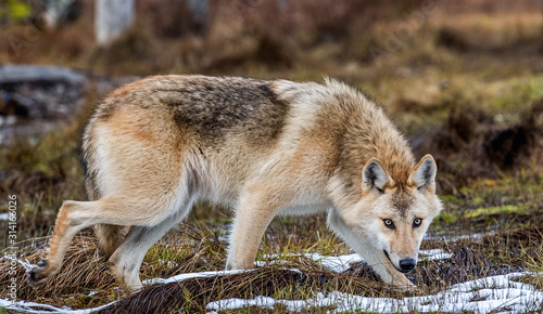 Fototapeta A wolf sneaks through the autumn forest. Eurasian wolf, also known as the gray or grey wolf also known as Timber wolf.  Scientific name: Canis lupus lupus. Natural habitat. Autumn forest.. obraz