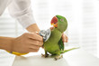 canvas print picture - Veterinarian examining Alexandrine parakeet in clinic, closeup