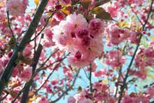 Full Cherry Blossom Tree In Sp...