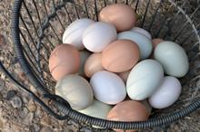 Farm Fresh Eggs With Multicolorer Egg Shells In Wire Basket