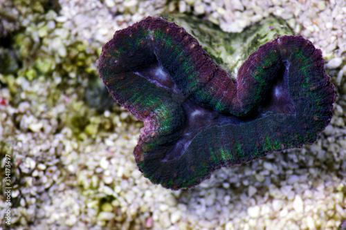 Fotografie, Obraz  Tricolor Aussie Lobophyllia LPS coral