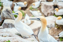Gannets On Rocks In Saltee Islands