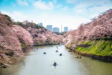 View Of Massive Cherry Blossom...