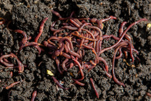 Red Long Worms On The Ground C...